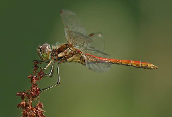 Makrofoto einer Heidelibelle