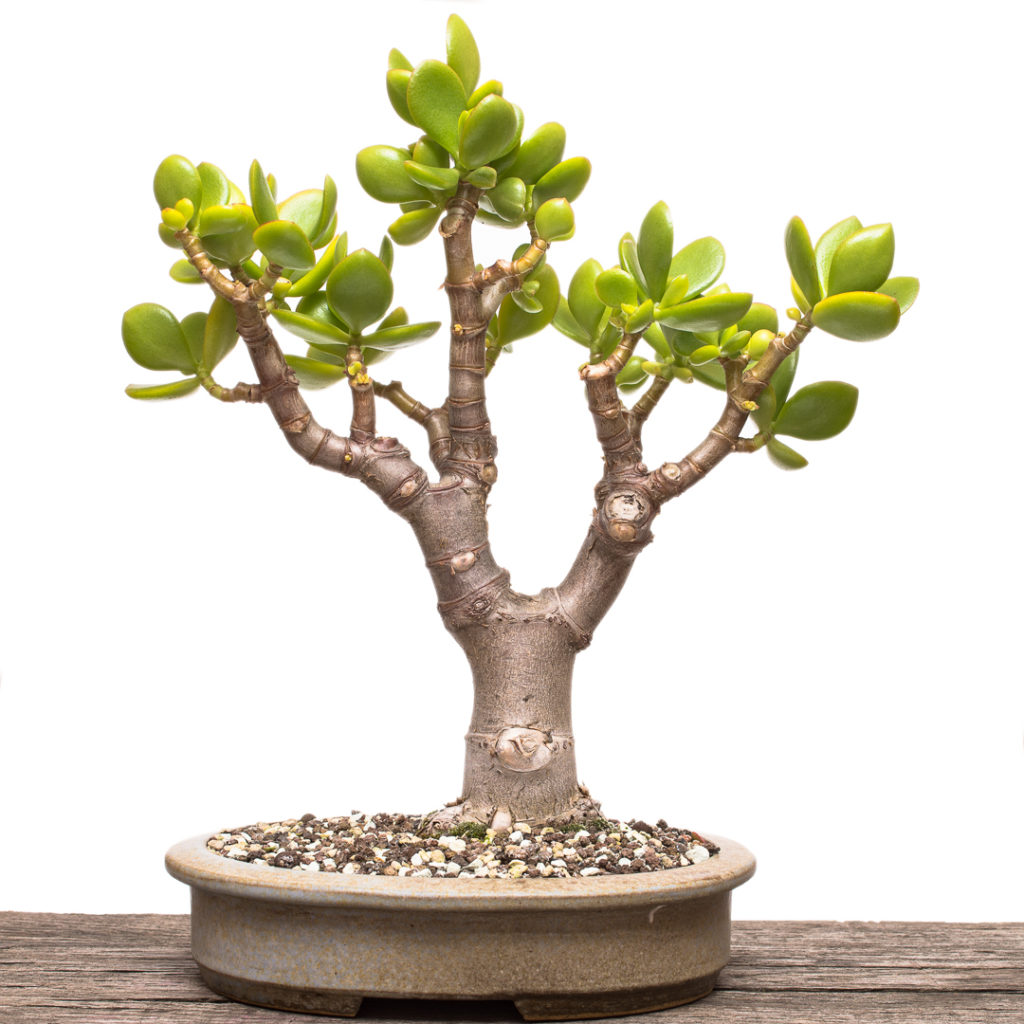 Crassula ovata Bonsai Baum